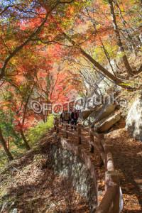 Japanischer Ahorn im November, eine schöne Reisezeit für Japan