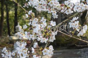 Kirschblüten in Kôfu zu sehen im April, eine besondere Reisezeit für Japan