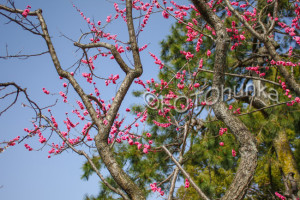 Pflaumenblüten in Kyoto, der März ist eine gute Reisezeit für Japan
